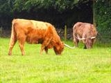 Cattle grazing on common land in Surrey by RichardWaldron-art, Photography